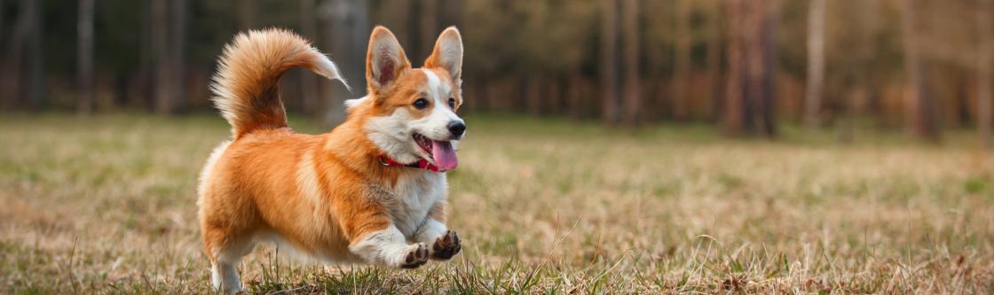 Castratie en sterilisatie voor honden