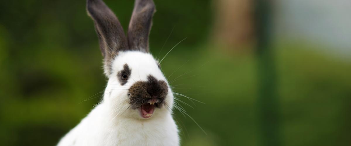 Tandheelkunde voor konijnen