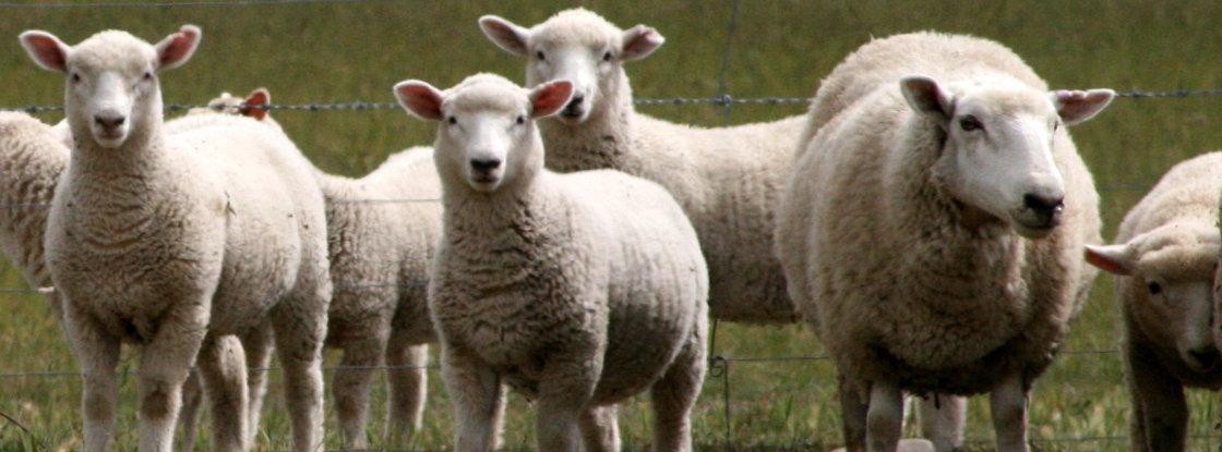 dierenarts schapen en geiten