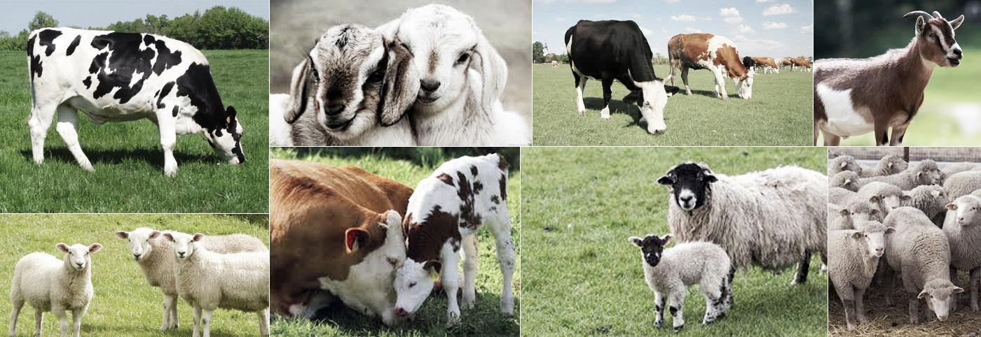 dierenarts voor landbouwhuisdieren, boerderijdieren, rundvee, koeien, schapen, geiten