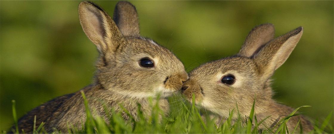 blaasproblemen bij konijnen