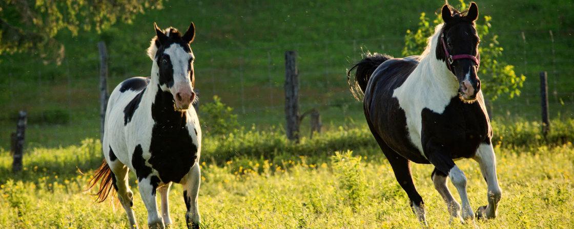 kreupelheid bij paarden