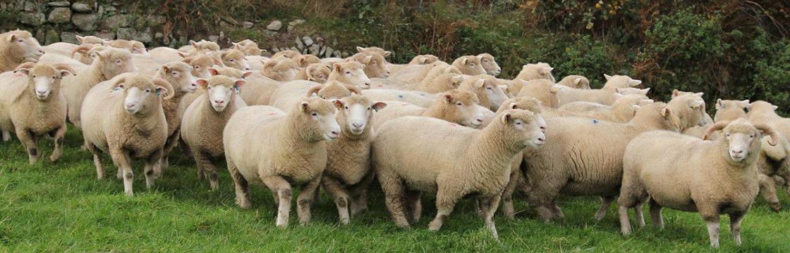 Vaccinatie voor schapen en geiten