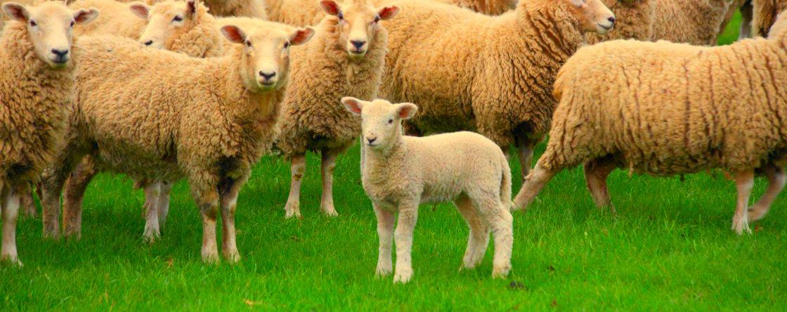 Parasieten bij schapen en geiten